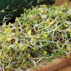 Image of Organic Broccoli Sprouts
