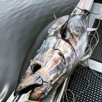 Image of a just-caught Gulf of Maine Conservas Bluefin tuna