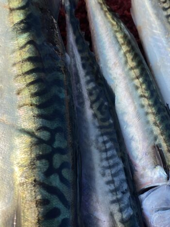 Image of freshly caught Tinkers (Atlantic Mackerel) from Gulf of Maine Conservas